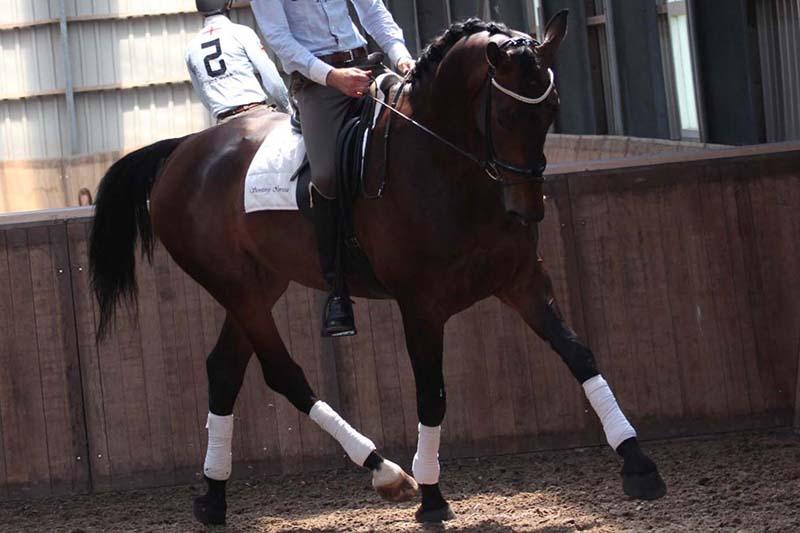 Celle Vie Quality horses Kruyt